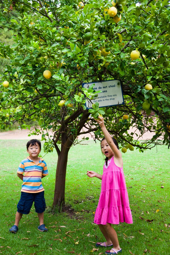 Yellow lemon tree at Margaret River