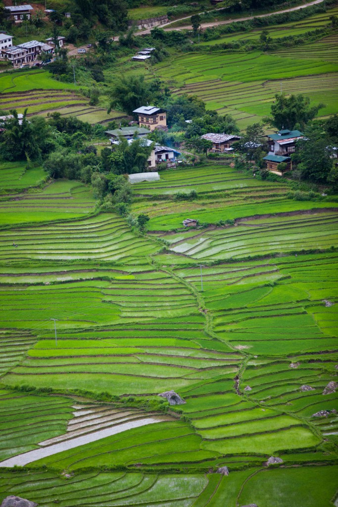 The splendid rice paddy fields on our cultural hike.