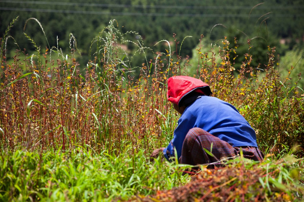 The back-breaking work at the buckwheat fields.