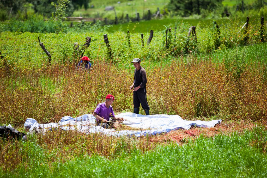 A farmer and his helpers in their early harvest of buckwheat in Bumthang.